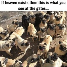 101 Cute Pug Memes - If heaven exists then this is what you see at the gates. Pugs have a variety of facial expressions. For that reason, pug memes are funny and I hope these 101 dog memes featuring pugs bring a smile to your day! Funny Dogs, Funny Animals, Cute Animals, Animal Memes, Black Pug Puppies, Dogs And Puppies, Terrier Puppies, Bulldog Puppies, Boston Terrier