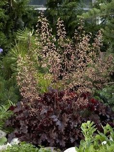'Melting Fire' Coral Bells. Brilliant rosy-red flowers in summer and autumn on 5 foot tall perennial plants.
