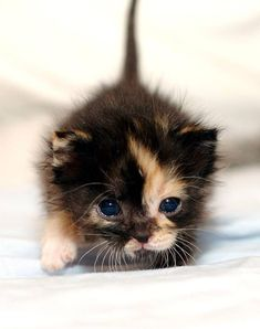 calico kitten. the colouration is caused by alternating inactivation of the x chromosomes.