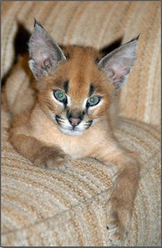 """The caracal is a medium sized cat which it spread in West Asia, South Asia, and Africa. The word Caracal is from Turkey """"Karakulak"""" which means """"Black Ears"""". Here is all about caracal as a pet. Caracal Kittens, Serval Cats, Cats And Kittens, Baby Caracal, Funny Kittens, White Kittens, Baby Cats, Animals And Pets, Baby Animals"""