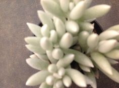 Succulent plant, Cocoon Plant forms long, tubular leaves with densely flocked white leaves.