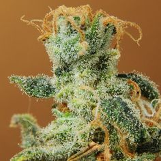Nirvana White Castle feminized seeds