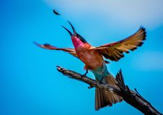 Check out Dr Amanda Stronza's fantastic image of a carmine bee eater trying to catch a bug in flight and read the story behind the photo.