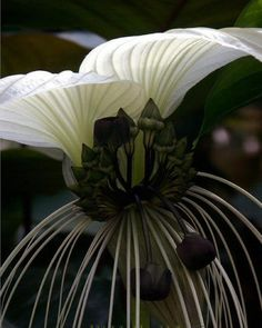 Tacca nivea - a rare white form of the Bat Plant.