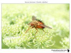 Genre, Dandelion, Flowers, Plants, Animals, Insects, Red, Black People, Animaux