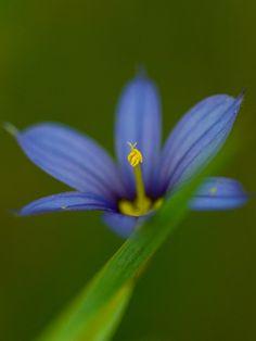 Blue eyed grass, sisyrinchium montanum