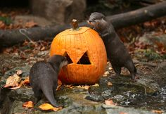 Asian small-clawed otters try to grab treats hidden inside a pumpkin during a preview for the Woodland Park Zoos Pumpkin Bash, in Seattle, Washington