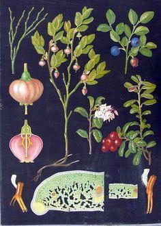 Poster with cardboard backround - Design Ebba Masalin Botanical Illustration, Botanical Prints, Illustration Art, Natural Form Art, Flora Und Fauna, Vintage School, Wild Nature, Pictures To Paint, Science And Nature