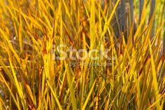 New Zealand Iris (Libertia peregrinans) Royalty Free Stock Photo Abstract Photos, Image Now, New Zealand, Iris, Royalty Free Stock Photos, Orange, Bearded Iris, Irises