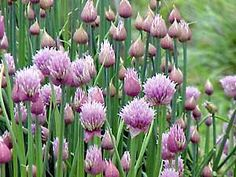Chives are hardy and vigorous perennial herbs. Ornamental and savory, the lush clumps of dark green leaves and bountiful blossoms suit the perennial border as well as the herb or vegetable garden. Herb Garden, Lawn And Garden, Vegetable Garden, Garden Plants, Garden Roses, Allium Schoenoprasum, Chives Plant, Cedar Trees, Enchanted Garden