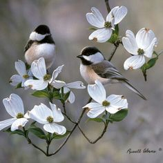 Dogwood, Missouri State Tree, with two beautiful little Chickadees.