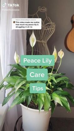 Peace Lilly Plant, Peace Plant, Peace Lily Indoor, Lilly Plants, Peace Lily Care, Growing Plants Indoors, Inside Plants, Plant Aesthetic, Indoor Plants