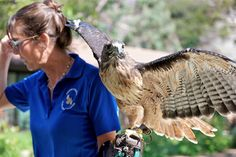 The Junior Rangers kids program at The Ranch Laguna Beach resort in California is pretty amazing. Today we learned about birds of prey and got to see several up close like this Red Tailed Hawk! #RanchLB #travel #familytravel #LagunaBeach #travel