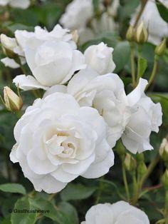 Witte rozenstruik kopen. Witte roos Rosa Schneewittchen online kopen.
