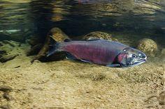 Adult Coho Salmon