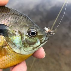 I was recently asked if I had to go out on the water with only ten flies (god forbid! So without any further delay, I present the Panfish On The Fly Top Ten Bluegill Flies. Trout Fishing Tips, Crappie Fishing, Salmon Fishing, Kayak Fishing, Deep Sea Fishing, Best Fishing, Fishing In Canada, Fly Fishing Basics, Fly Tying Patterns