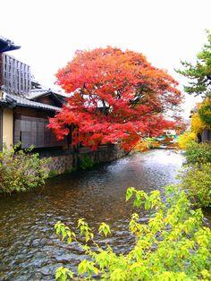 Japanese maple tree in full autumn glory at Shirakawa Gion Kyoto Modern Japanese Architecture, Landscape Architecture, Zen Garden Design, Japan Garden, Beautiful Streets, Japanese Maple, Japanese House, Japan Travel, Land Scape