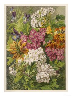 Flowers of May and June: Viola Tricolor Giclee Print at Art.com