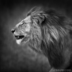 Lion Portrait - Masai Mara Collection