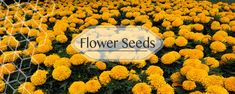 Buy Online Vegetable Seeds in India Flower Seeds Hybrid Herb Seeds India Herb Seeds, Garden Seeds, Seeds Online, Flower Seeds, Cereal, Pumpkin, Herbs, India, Technology