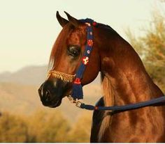 Arabian horse with colorful halter