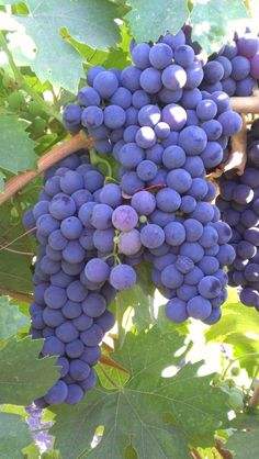 Old Vine Zinfandel at 1271Tubbs Lane, Calistoga, CA, 94515 #calistoga