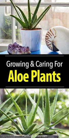 Aloe Vera Plant Care: How To Grow Aloe Plants Indoors and Out Aloe vera plant care begins with planting in a well-drained soil (cactus potting soil) plenty of drainage holes, give the plant bright light. [LEARN MORE] Aloe Plant Care, Aloe Vera Plant Indoor, Garden Cactus, Garden Plants, Indoor Garden, Succulents Garden, Greenhouse Plants, Air Plants, Vegetable Garden