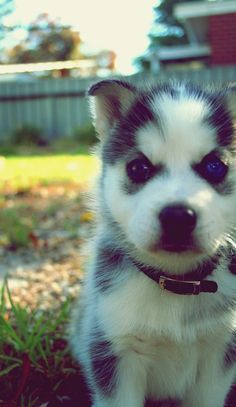 ~ PRETTY SIBERIAN HUSKY Puppy ~