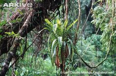 Vriesea-hieroglyphica.jpg (650×429)