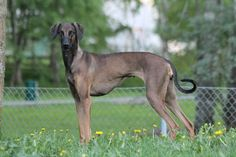 The Sloughi,  a dog breed from Northern Africa,also known as the Arabian Greyhound ,originated from Northern Africa. Group: UKC History: The Sloughi is believed to be a descendant of the drop-eared...