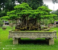 30 best ficus bonsai images on pinterest bonsai bonsai trees and forests of bonsai in hanoi fandeluxe Choice Image