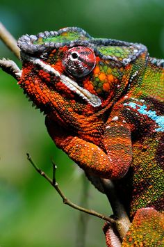 """""""MR. RIGHT"""" by mc27   Redbubble Les Reptiles, Reptiles And Amphibians, Mammals, Beautiful Creatures, Animals Beautiful, Colorful Lizards, Chameleon Lizard, Funny Animals, Cute Animals"""