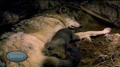 El Lobo Canis lupus  Documental Nacimiento y vida