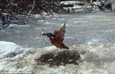 This kingfisher wasn't afraid of the freezing water as it dived through the ice to catch a fish.
