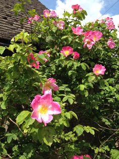 Blousey climbing pink rose.