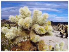 cholla cactus garden Joshua Tree National Park