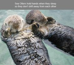 Sea otters hold hands when they sleep so they don't drift away from each other.