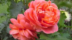 Summer Song rose. The most unusual and beautiful orange colour. Photo: Dagmara Walkowicz