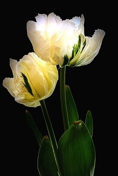 tulips by HeavenInACoffeeCup Fotografia Floral, Cactus Planta, Parrot Tulips, Ivy House, Floral Photography, Dark Backgrounds, Flower Photos, Natural World, Yellow Flowers