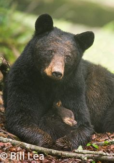 Gorgeous black bear with tiny adorable cub❣️ Nature Animals, Animals And Pets, Baby Animals, Cute Animals, Wild Animals, Beautiful Creatures, Animals Beautiful, American Black Bear, Wild Creatures