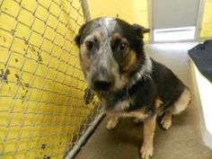 REDDING CALIFORNIA ~ 142905 is an adoptable Cattle Dog Dog in Redding, CA. ~ Haven Humane Society, Redding, CA ~ Pet ID: 142905 • Spayed/Neutered ~ Handsome guy available for #adoption. ~~ https://www.facebook.com/photo.php?fbid=453409464679628=a.219752834711960.57793.212246342129276=1