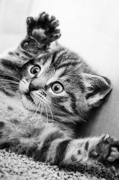 Cute Baby Cats, Cute Little Animals, Baby Dogs, Kittens Cutest, Cats And Kittens, Animals And Pets, Baby Animals, Funny Animals, Polydactyl Cat