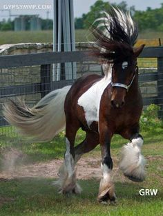 Gypsy Vanner Horses for Sale | Stallion | Skewbald | Elvis