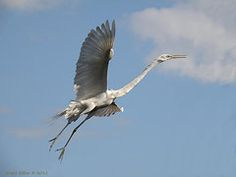Grace Dillon Art - Great Egret in Flight by Grace Dillon