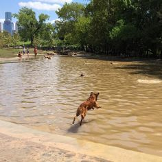 Diving into the water at Johnny Steele Dog Park - Buffalo Bayou Park - Houston, TX - Angus Off-Leash #dogs #puppies #cutedogs #dogparks #houston #texas #angusoffleash