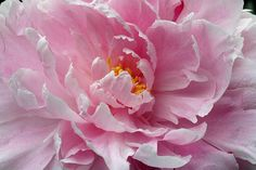 Peony 2008 | Flickr - Photo Sharing!