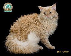Google Image Result for http://www.cfa.org/images/breeds/SelkirkRexLH1B.jpg
