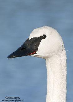 Trumpeter Swan Birds 2, Love Birds, Beautiful Birds, Animals Beautiful, Trumpeter Swan, Swans, Crows, Ravens, Bird Feathers