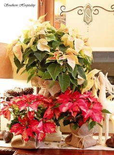 Christmas poinsettias...wrapped in burlap.