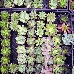 Succulents | Diane Again @diane_streicher
